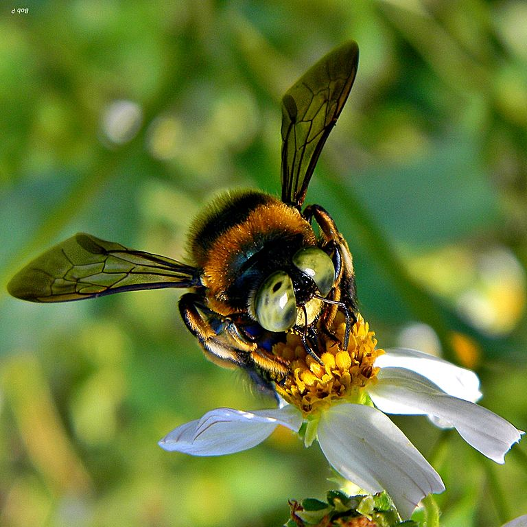 Southern_Carpenter_Bee